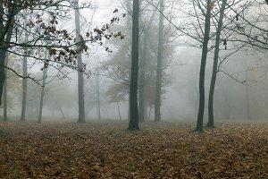 Autumn forest, fog