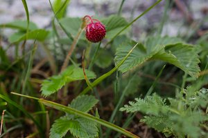 Wild strawberries macro growing wild strawberries