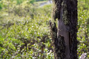 Old cracked mossy tree bark with green plant