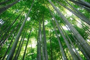Bamboo in Kamakura