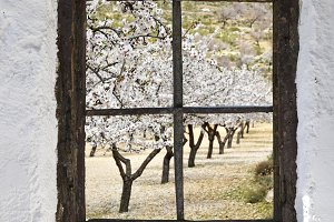 almond grove behind the old window