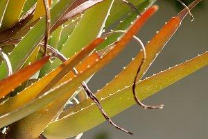 Aloe vera forms full sun