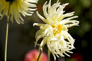 Yellow dahlias in the garden