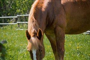Draft Horse Gelding