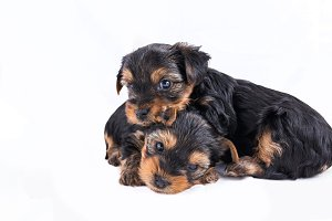 two yorkshire terrier puppies cuddling