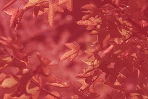 maple leaf red tone color