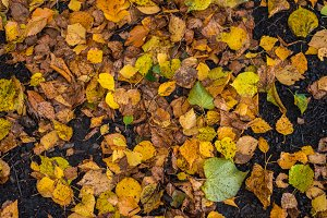 Brightly yellow yellow leaves in a park on the ground. Autumn day in the city. Nature in the fresh air.