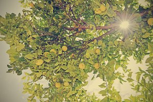 the sun through the branches of the lemon