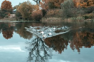 Ducks in the pond. In the autumn they swim in lake. Against the background of trees.