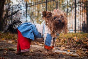 Portrait of a cute dog in beautiful clothes. Autumn