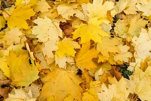 Maple leaves. The gold of autumn.