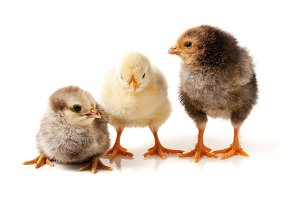 three little chicken isolated on white background
