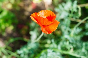 beautiful red poppy.