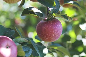 Apple Orchard 1
