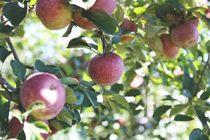 Apple Orchard 2