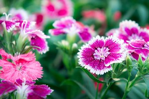 pink daisy flowers in the nature