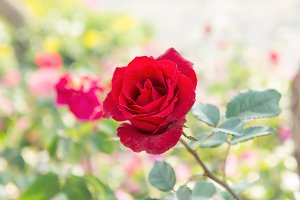Red rose flowers colorful garden
