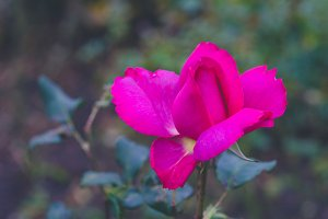 Lilac rose with defocused foliage in park