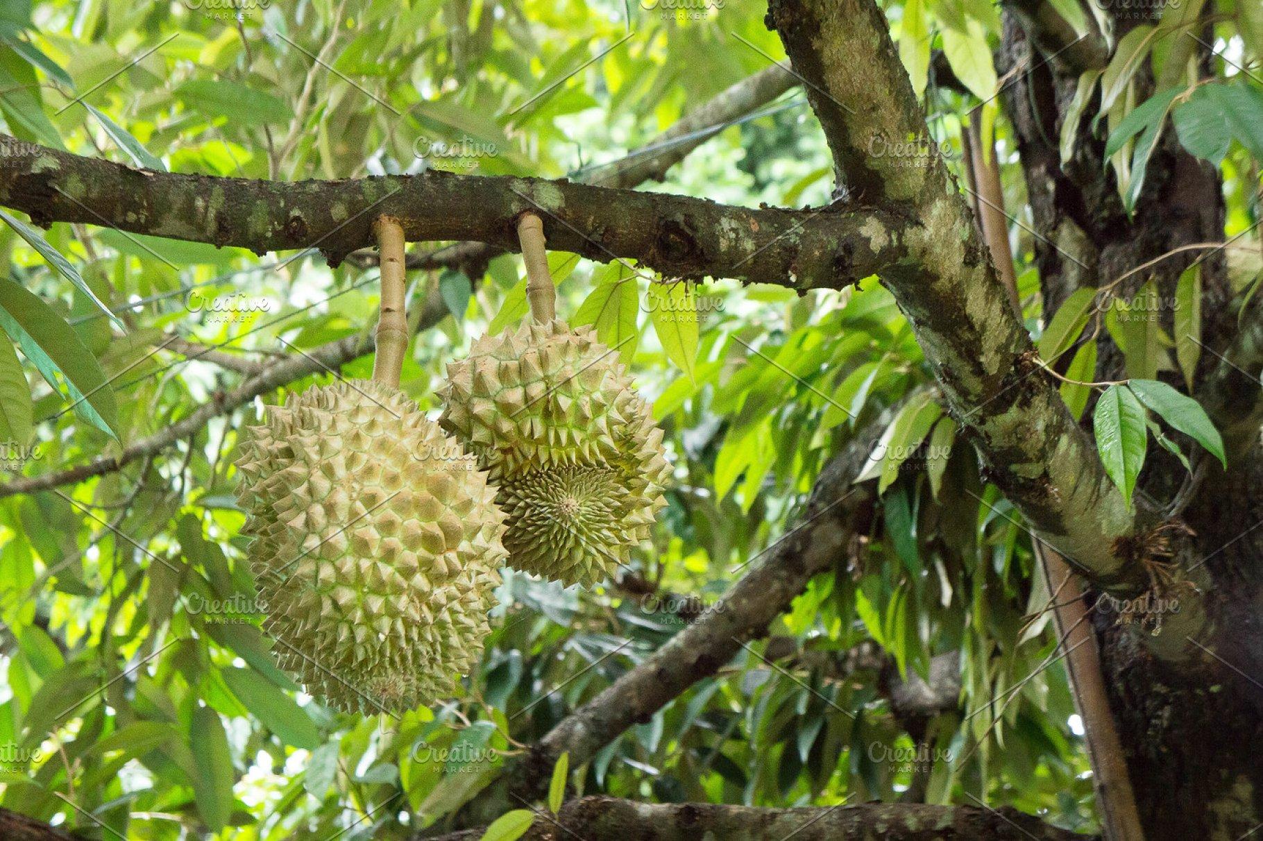 Durian Garden , Thai fruit