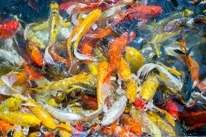 Fish carp swim in the pond