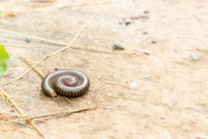 Millipedes poisonous animals