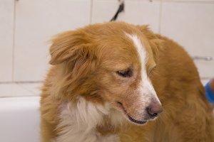 border collie dog in the bathtub
