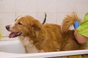 border collie dog in the bathtub