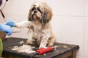 cutting the dog hair