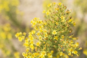 Wild plant with yellow flowers i
