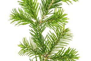 Fresh coniferous branches