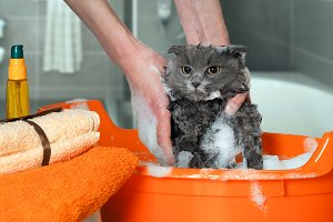 The process of washing the cat in the bathroom in the pelvis. Wet, scared and unhappy cat, a human hand, a lot of suds