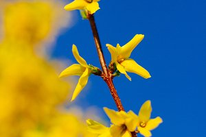 Yellow blossom against a blue sky
