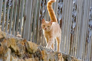 Ginger cat walking on a fence
