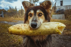funny dog mongrel eating cucumber