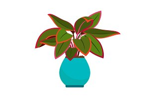 Aglaonema house plant