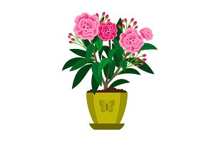 Oleander blooming houseplant
