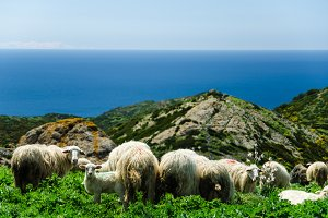 Grazing sheep on the coast of Sardinia