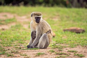 Vervet monkey with a baby