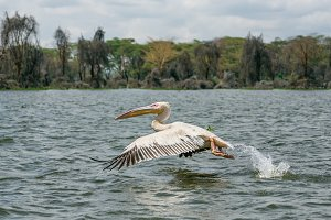 Great white pelican in flight at Lake Naivasha, Kenya