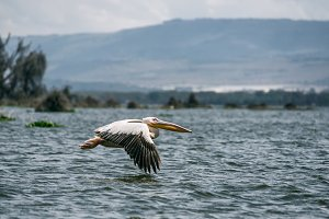Great white pelican in flight, Lake Naivasha, Kenya