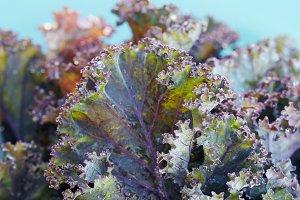 Purple curly leaf kale