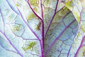 Purple kale leaf detail