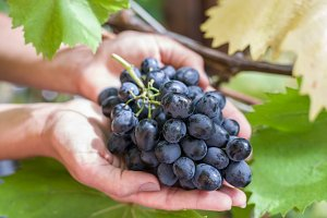 Purple grape in the hands.