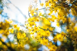 Yellow Blossoms 2