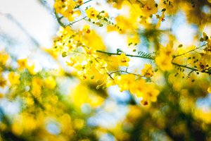 Yellow Blossoms 1