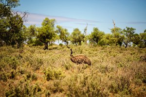 Australian emu walking in Mungo National Park,  Australia