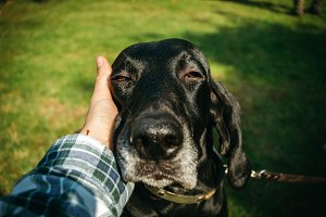 owner holding his dog, brown hunting german shorthaired pointer, kurzhaar,