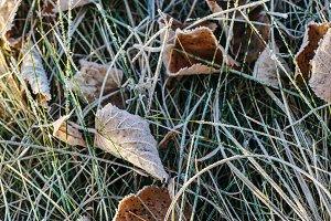 Frozen dry leaves