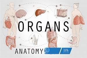 Human Anatomy Internal Organs
