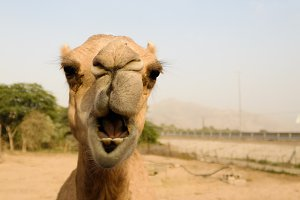 Portrait of funny camel head, Sharjah, UAE